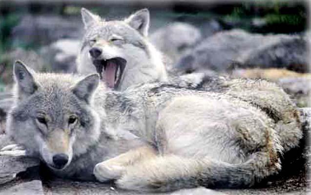 Ulvens eneste rigtige trussel er mennesket.... 60-90% af ulvens