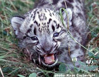 hvor lever sneleoparden